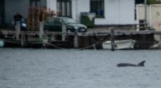 Billeder: Delfin i Alssund