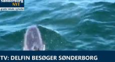 TV: Delfin besøger Sønderborg