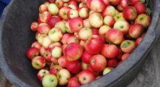 Gråsten er ved at blive Æblefestklar